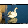 stlouis missouri usa bird white swan lake 270xPage lake 1121112