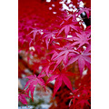 red leaves tree autumn nature Korea