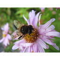 flower hoverfly