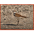 birds nature killdeer