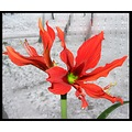 amaryllis snow window compautumn07