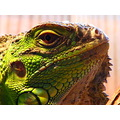 iguana lizard reptile green scales eye