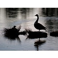 silhouette goose duck thursley pond surrey