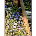 flowers cornflowers rusty railway iron nature France country