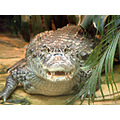 croc animal eyes teeth syon park london