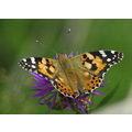 butterfly insect animals nature
