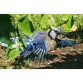 bluejay unusual wildlife bird carlsbirdclub pankey wildspirit nature animal