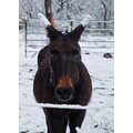 My mule thought ear snow would be a trend setter