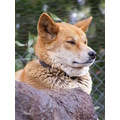 Dingo Dog Animal