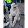 here's the giant's dog...he cocked his leg up at unsuspecting bystanders!