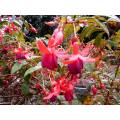 Portugal madeira island 2005 flower red bush fushia