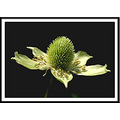 Thimbleweed flower nature green