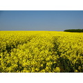 oil seed rape yellow