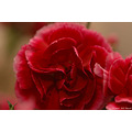 stlouis missouri us usa plant flower carnation red macro 2006