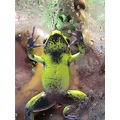 phyllobates bicolor belly shot poison arrow frog