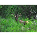 Rocky Mountain Elk Royal Bull Montana