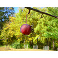 autumn crabapple