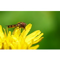 Dandelion Hoverfly