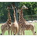 giraffes animals