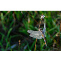 dragonfly dew drops crystallised early morning littleollie