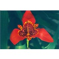 flower red nature Iris