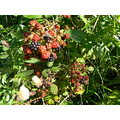nature summer blackberries