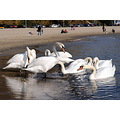 swan bird nature beach sea varna bulgaria autumn fall animal nikon sigma