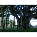Baniyan tree Hawaii