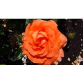 New Zealand macro canon g12 flower hamilton rose