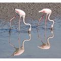 reflectionthursday flamingos camargue france carlsbidclub birds