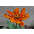 I used the HDR effect on this zinnia.  I don't know if the halo around the petals was there on th...
