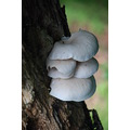 mushroomclub oyster mushrooms
