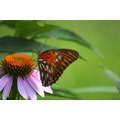Gulf fritillary on a purple cone flower