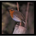 nature animal bird robin feathers