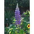 lupin lupins flower flowers