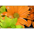 stlouis missouri us flower macro daisy orange lime pastel PUCC 021110