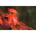 autumn sun light leaf red