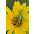 insect grasshopper green daisy