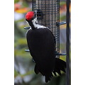 pileated woodpecker birdfeeder Burnaby BC Canada