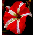 Petunia flower Lucknow India