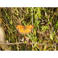 ssphotoshop butterfly moth orange