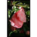 nature flower camillia rose green closeup spring