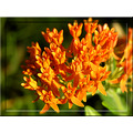 butterflyweed orange wildflower nature