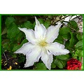 Clematis flower nature