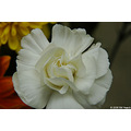 usa us missouri stlouis plant flower gail birthday white carnation 2006