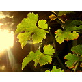 summer autumn grapes leaf leaves sunset