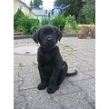 puppy dog animal labrador