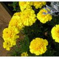 flowers yellow