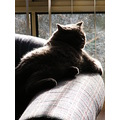 british shorthair cat feline animal mammal pet family