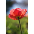 red flower poppy